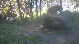 Amur leopard - stump camera