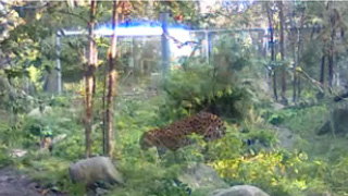 Amur leopard - stream camera